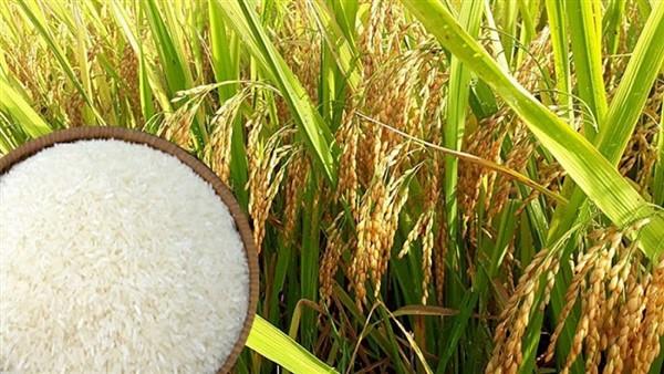 Giá lúa gạo hôm nay 27/10: Giá lúa gạo tăng giảm, trái chiều