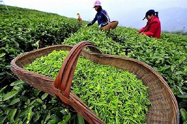 Thị phần chè Việt Nam xuất khẩu sang Nga giảm