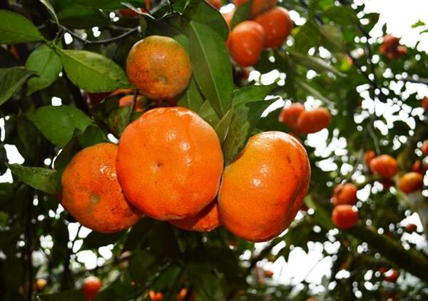 Yên Bái: Văn Chấn mong có giải pháp chế biến hoa quả, gỗ rừng trồng